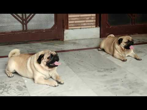 About PUG Dog Breed - Popular dog - Pug puppy sale Mb--9728011133,7404011155 DOGGYZ WORLD