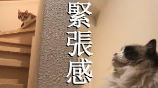 ラグドールのレオと黒猫しじみ Vol.79 縄張り最前線に立たされるオス猫達 thumbnail