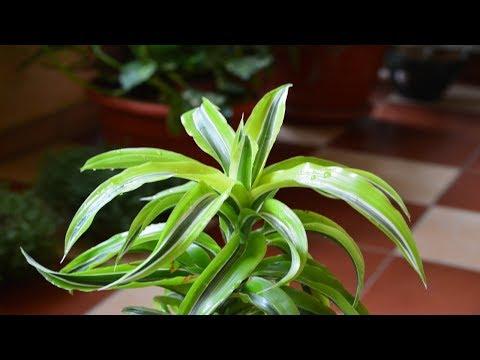 Комнатное растение.  Драцена отогнутая.  Год жизни драцены в моей оранжерейке!