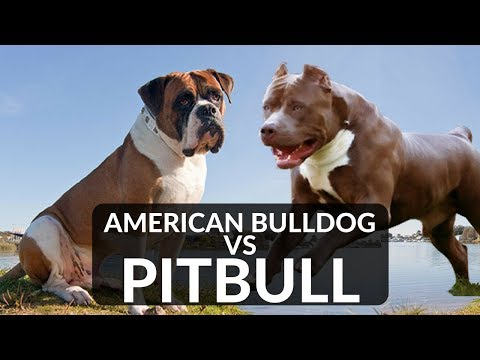 PITBULL vs AMERICAN BULLDOG