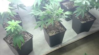 Girl Scout Cookies Cali Connections ep.2 grow.3 Se