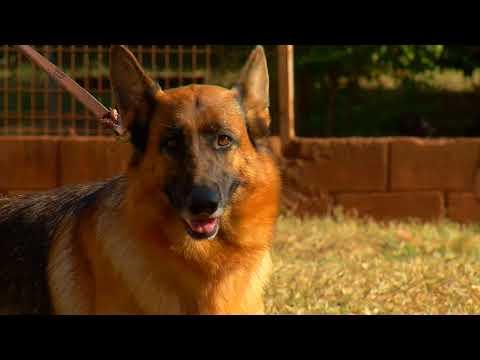 Competição regional de cães da raça pastor alemão acontece na Capital