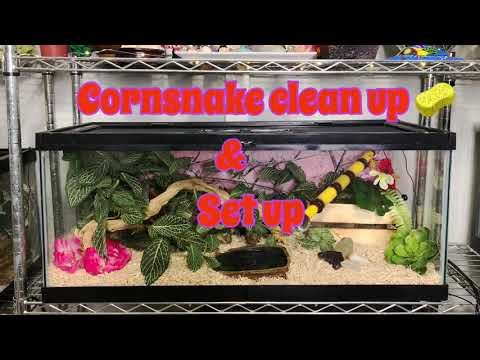 Corn Snake clean up & Set up