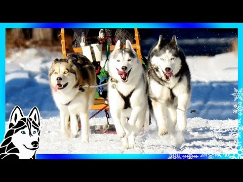 DOG SLEDDING ADVENTURE | GoPro Hero5 Black GoPro Karma Grip