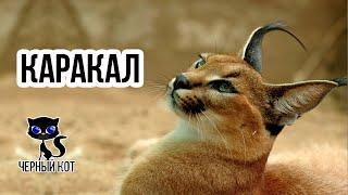 Каракал - хищная степная кошка / Интересные факты о кошках