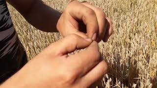 Уборка пшеницы совсем скоро) Агро-канал
