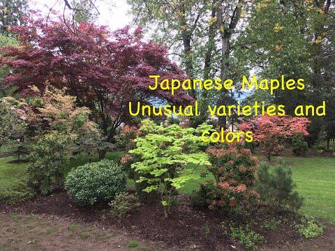JAPANESE MAPLES,  UNUSUAL VARIETIES AND COLORS