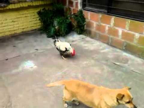 Vídeo de Gallo asustando a dos perros