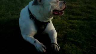 Dog American Bulldog