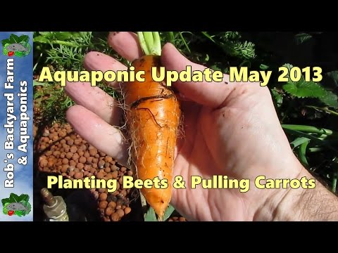 Backyard Aquaponic update, planting some beets & pulling some carrots.. 17th May 2013