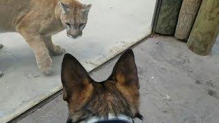 Собака против Пумы! Он Пожертвовал Собой Ради Спасения Двух Девочек