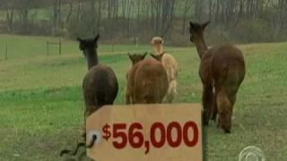 Investing In Alpacas?