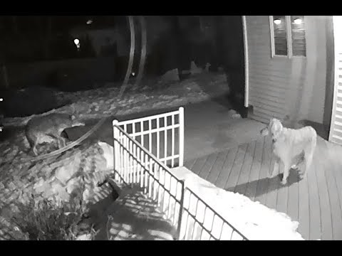Coyote Chases Family Dog In Rockford, Illinois