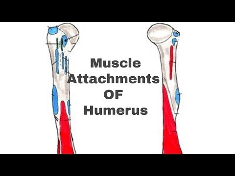 MUSCLE ATTACHMENTS OF HUMERUS || By Basic Anatomy