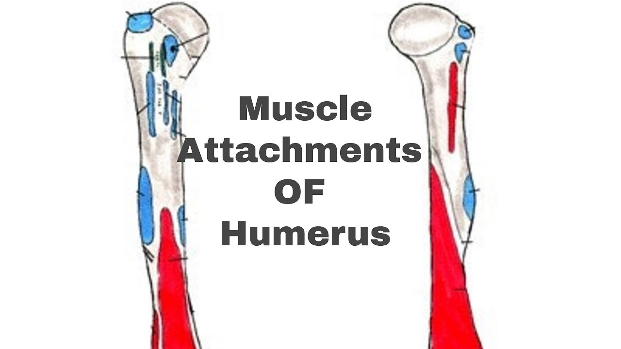 MUSCLE ATTACHMENTS OF HUMERUS || By MedicalAdda - YouTube