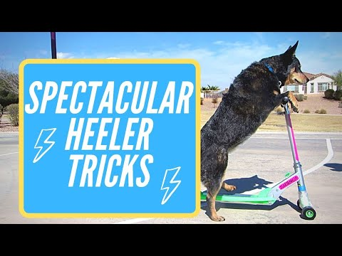 Bella the Blue Heeler's Spectacular Tricks
