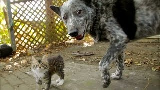 Dog Befriends Disabled Kitten thumbnail