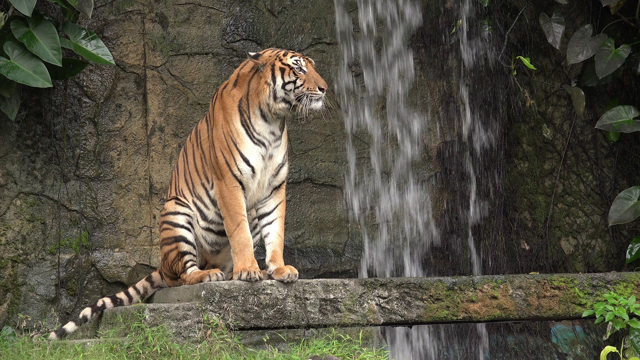 A closeup of a tiger sitting by a waterfall.