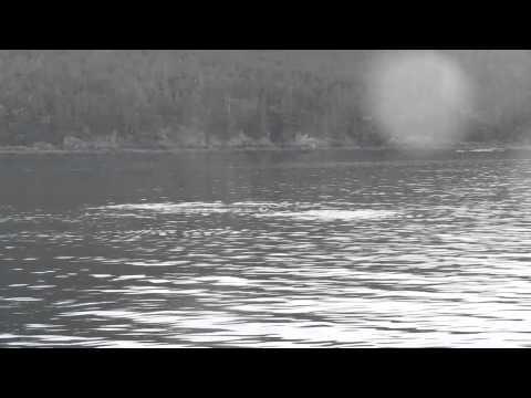 Humpback Whale, Evening Whale Quest - Juneau Alaska