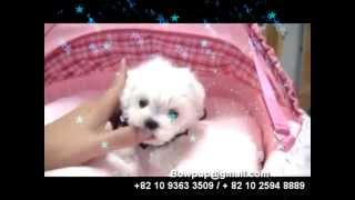 Amazing Micro Teacup Maltese Female. She Is Very Tiny Size And Very Cute!! Available