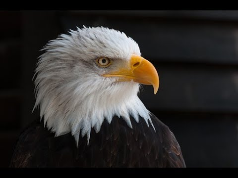 How to Paint a Realistic Bald EAGLE with Acrylic Paint for the beginner  Lesson 2 Step by Step,