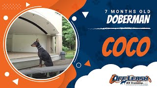 "7 Month Old Doberman ""coco:"" With Owner Testimonial And Distractions!"