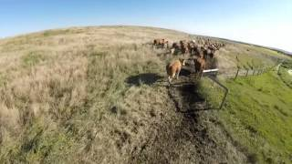 Oxcart Q450 Moving Cattle