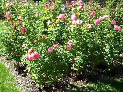 Loose Park Rose Garden Youtube