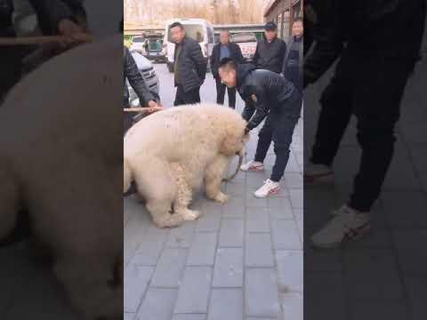 White Snow Tibetan Mastiff Breeding