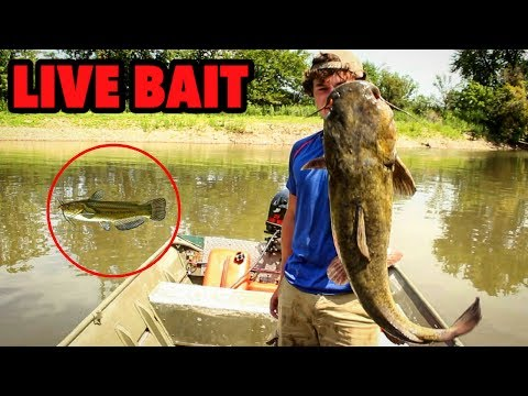 River Catfish Are CANNIBALS!!! Catfishing With LIVE BULLHEADS On Bank Poles