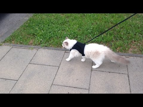 First walk outside – Jeremy The Ragdoll Cat :) 猫が初めて外を歩く