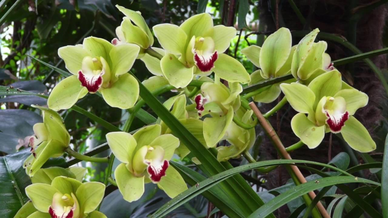 Il magico mondo delle piante orchidea cymbidium youtube - Orchidee da esterno ...