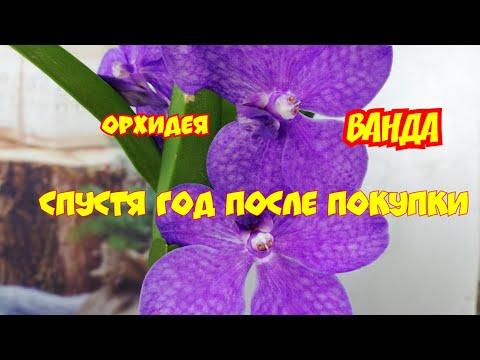 Орхидея Аскоценда (ВАНДА) зацвела. Очень простое растение в уходе, в домашних условиях.