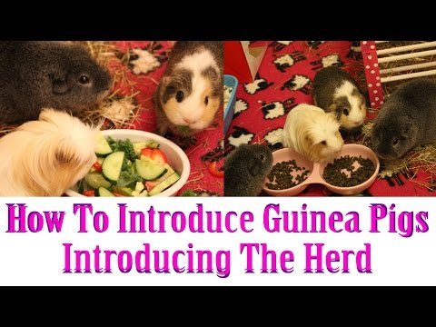 How To Introduce Guinea Pigs ~ Introducing the Herd