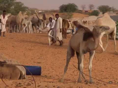 لبن الإبل عند الموريتانيين/ مختار بابتاح