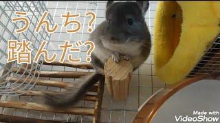[チンチラ] うんち踏んでない?  cute chinchi…