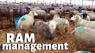 how-we-manage-rams-on-our-sheep-farm-vlog-226