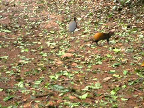 strange bunny rabbit and birds in suriname forrest