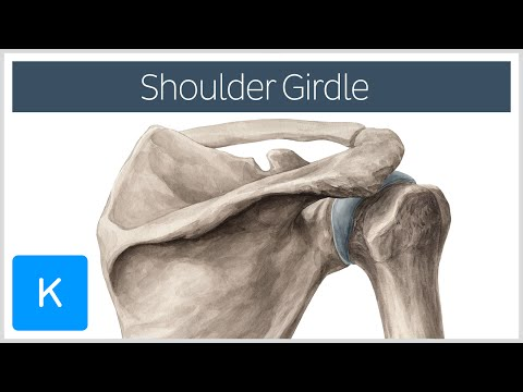 Shoulder (Pectoral) Girdle - Muscles and Movements - Human Anatomy | Kenhub