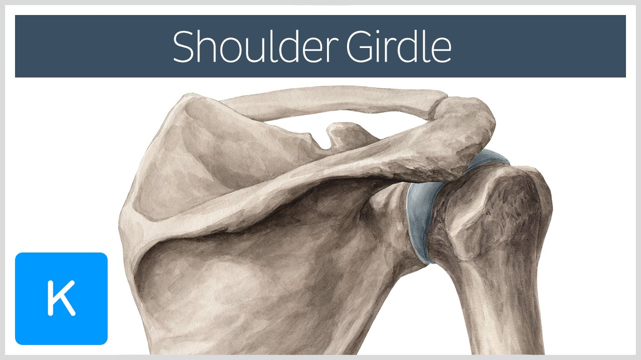 Shoulder Pectoral Girdle Muscles And Movements Human Anatomy