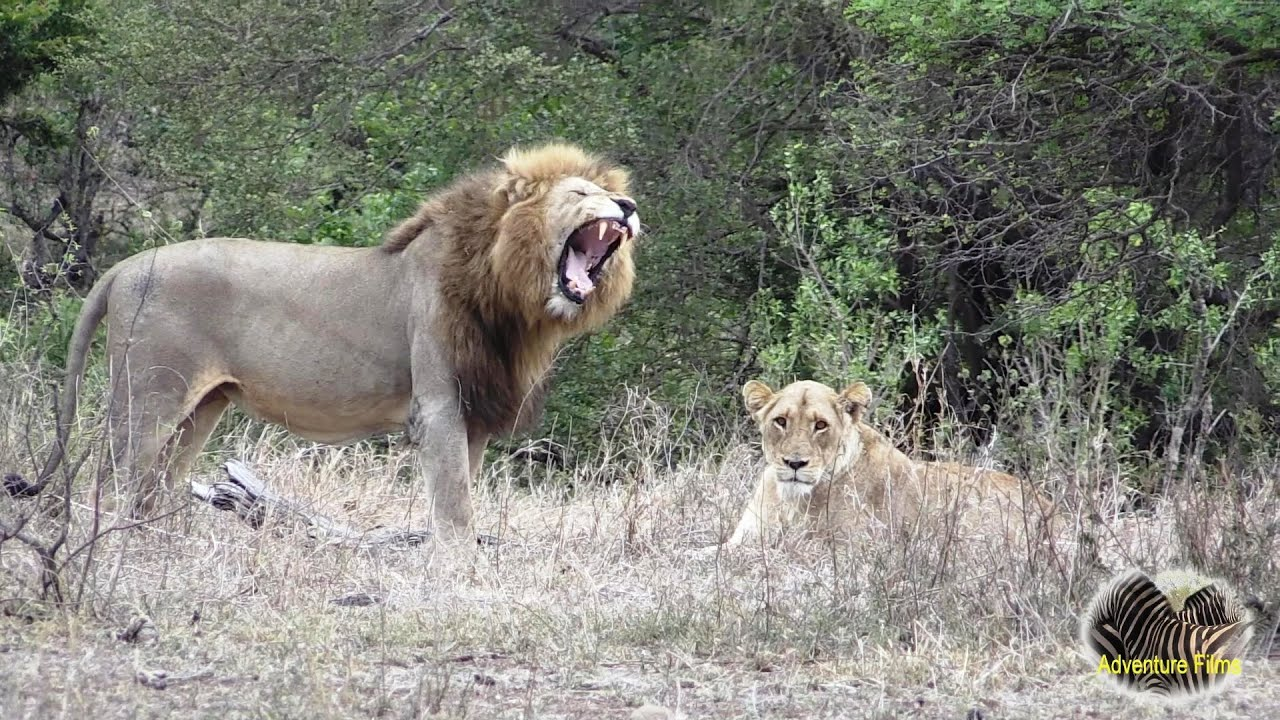 Beautiful Shishangaan Lion Couple In Love