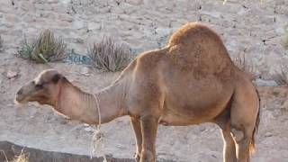 Physical features of camel