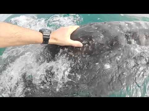 Guerrero Negro, Mexico - Grey Whale watching - March 2016
