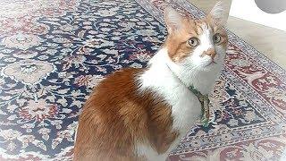 トルコ料理より遊びにやって来た猫に夢中な猫!こんなストーリーになるなんて!