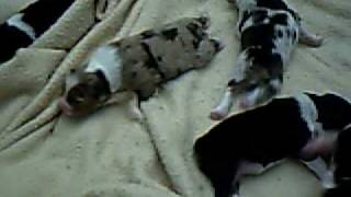 Tuxedo X Christy Pups- July 18, 2009- 1 wk old