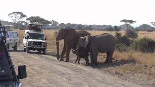 Newborn Elephant Crossing the Road in Amboseli National Park, Kenya