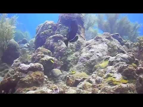 Midnight Triggerfish   Overheat Reef, Roatan