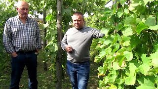 ❷ Виноградники Пинска, Первого А. и Горбачевского Н. Выставка винограда в Пинске.