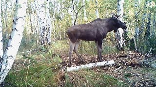 кадры животных с фотоловушки в лесу