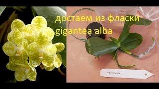 Орхидеи: достаём из фласки gigantea alba.(Не забываем открывать описание▻▭▭▭▭▭ ▻Вспомогательные ссылки: Группа Вконтакте https://new.vk.com/or..., 2017-03-02T19:16:33.000Z)